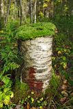 Moss On The Stump. Green Moss Growing On The Birch Stump Stock Photography