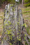 Moss on a Stump Royalty Free Stock Image
