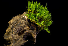 Moss on a stump on black Stock Images