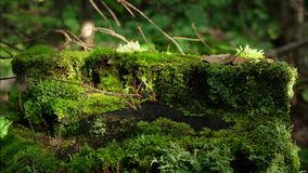 Moss on stump in the forest. Old timber with moss in the forest. Stump green moss spruce pine coniferous tree forest. Park wood root bark stock video