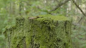 Moss on stump in the forest. Old timber with moss in the forest. Stump green moss spruce pine coniferous tree forest. Park wood root bark stock video footage