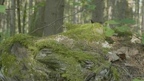 Moss on stump in the forest. Old timber with moss in the forest. Stump green moss spruce pine coniferous tree forest. Park wood root bark stock footage