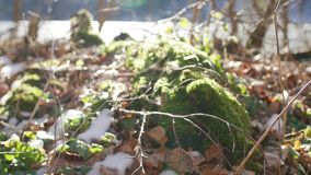 Moss on stump in the forest under the snow. Moss on a stump in the forest under the snow stock video footage