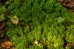 Moss. Summer forest. Stock Image