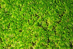 Moss surface Stock Photography