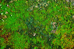 The moss texture Royalty Free Stock Images