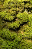 Moss texture. Moss tree cover Royalty Free Stock Photo