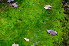 Moss texture with autumn leaves. Mossy, grass. Pictured Rocks National Lakeshore, Munising, USA Royalty Free Stock Photo