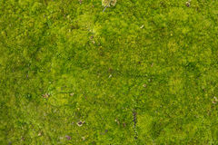 Moss texture. Background with copy space Royalty Free Stock Images