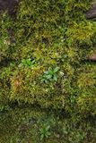 Moss texture. Moss background. Green moss on grunge texture royalty free stock images