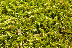 Moss texture Stock Photography