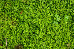 Moss Texture Royalty Free Stock Photography