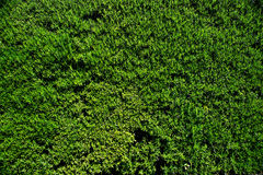 Moss texture. Royalty Free Stock Images