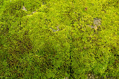 Moss texture. Green moss on ground in northern thailand, tropic Stock Photos