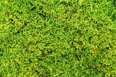 Moss texture. Green moss texture macro picture Stock Image
