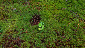 Moss texture. An image of green moss for backgrounds Royalty Free Stock Image