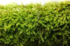 Moss texture. Macro of moss Bryophyta texture at spring Stock Photos