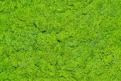 Moss. The texture of the moss Royalty Free Stock Images
