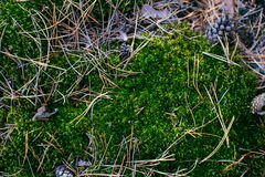 Moss texture, on the wall for beautiful background Royalty Free Stock Image
