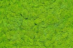 Moss Texturen av mossan royaltyfria bilder