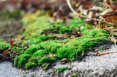 Moss and thawing snow. Royalty Free Stock Photography