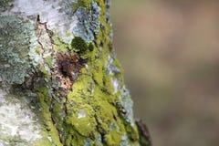 Moss On Tree Royalty Free Stock Photos