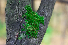 Moss on the tree Royalty Free Stock Photos