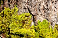Moss on tree Royalty Free Stock Photos