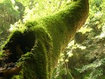 Moss on a tree. Moss on a three, PALA-U Waterfall in huahin royalty free stock image