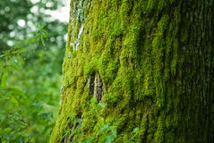 Moss on a tree royalty free stock image