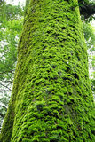 Moss on tree Royalty Free Stock Photo