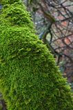 Moss on the tree. M Northern California Stock Images