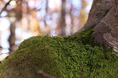 Moss on the tree. In autumn in mountain Stock Photos