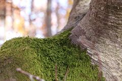 Moss on the tree. In autumn in mountain Royalty Free Stock Photo