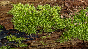 Moss on a tree bark - Bryophyta. Detail of moss on a tree bark, filled frame Stock Images