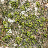 Moss on tree bark Stock Photography
