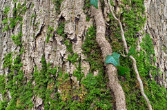 Moss on tree bark Royalty Free Stock Image