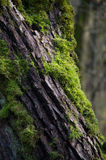 Moss on the tree bark Royalty Free Stock Images