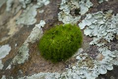 Moss is on a tree in the bark with moisture. In nature stock photography