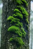 Moss is on a tree in the bark with moisture. In nature royalty free stock photos