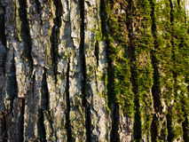 Moss on tree bark Royalty Free Stock Images