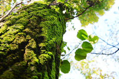 Moss on tree Stock Images