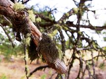 Moss on a tree branch. Moss on a dead tree branch.  You can see moss covering the tree Stock Photo