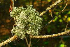Moss on a tree branch royalty free stock photography