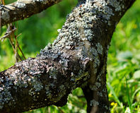 Moss on a tree branch. Royalty Free Stock Photo