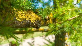 Moss on tree branch Royalty Free Stock Photo