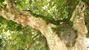 Moss on the tree close up stock video footage