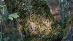 Moss on a tree close up stock video footage