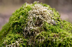 Moss on a tree in the forest Royalty Free Stock Images