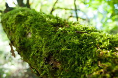 Moss on tree in the forest Royalty Free Stock Photo